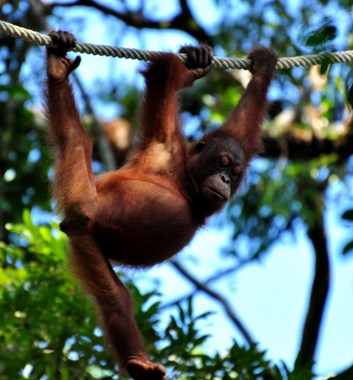 Borneo wildlife orang utan on a rope