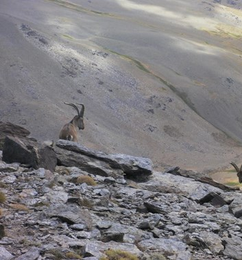 Ibex above Rio Juntillas on the Sierra Nevada Trek