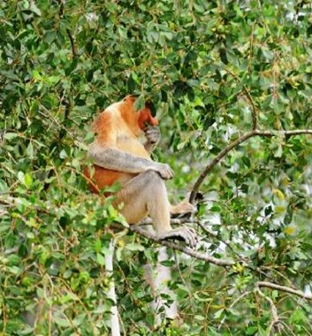 Borneo wildlife tour proboscis monkey