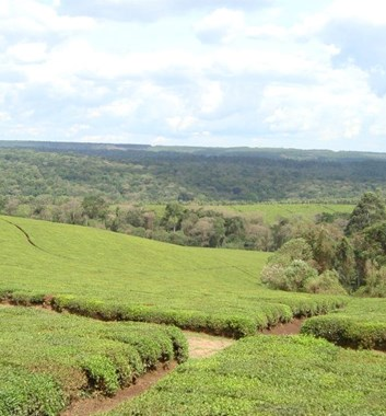 Kenya Medical Camp - Tea plantations of Kericho