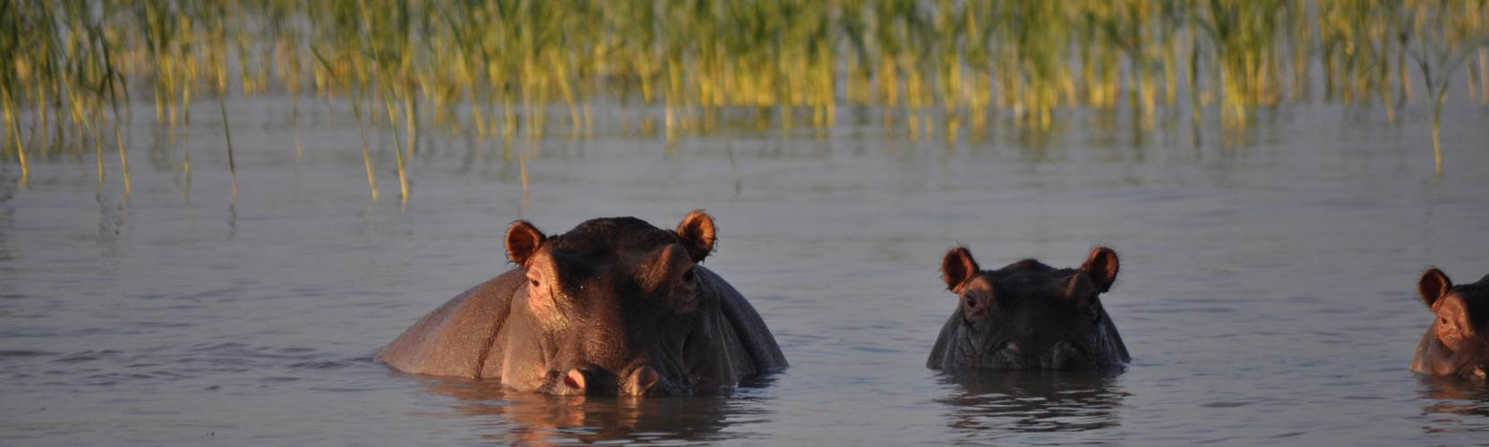 Kenya - Wallowing Hippo