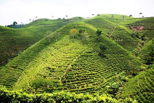 mt lawu tea plantation.jpg